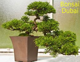 Bonsai Dubai